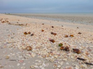 high tide wrack line sanibel