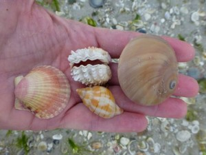 pams favorite seashells of day