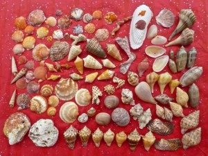 santa seashell collection