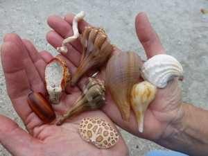 seashells crab shell