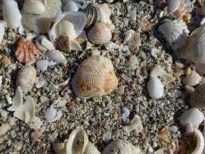 venus clam sand captiva