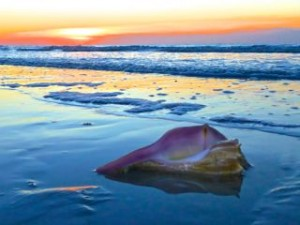 whelk seashell beach color