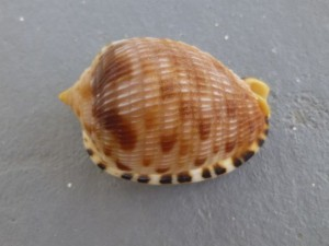 Reticulated cowrie-helmet