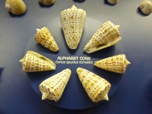 alphabet cone conus spurius
