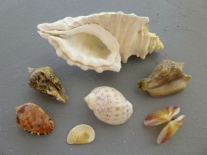 best seashells Turks caicos jjh