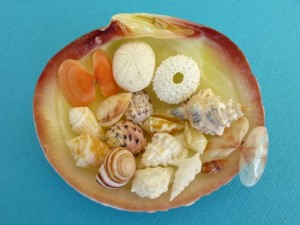caicos miniature seashells