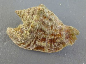 hawkwing conch caicos jh