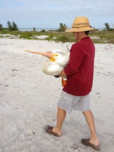 injured sick white pelican