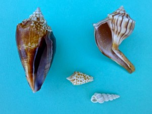 irregular shells
