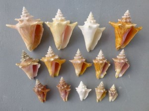 juvenile queen conch rollers