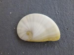 operculum gaudy natica