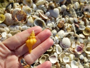 orange florida conch shell