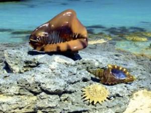 seashells caribbean