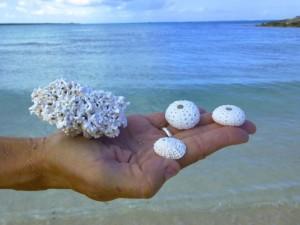 turks caicos urchin coral
