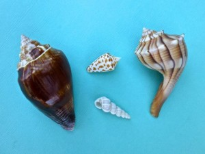 uncommon seashells