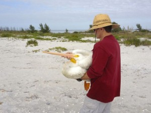white pelican rescue