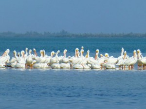 white pelicans captiva florida
