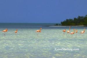 Flamingos caicos