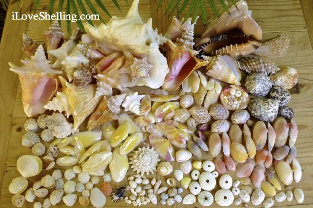 different seashells caicos iLS