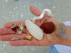 linda angel wing shells