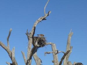 osprey nest cayo costa
