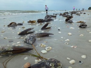 pen shells wash sanibel