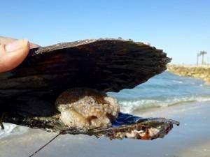 pigmy octopus penn shell