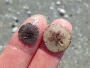 two miniature sand dollars