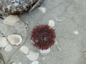 urchins wash up sanibel