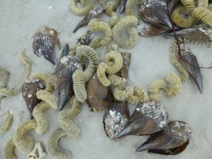 pen shells whelk egg chain