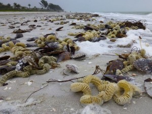 sanibel mollusk egg cases gulfside