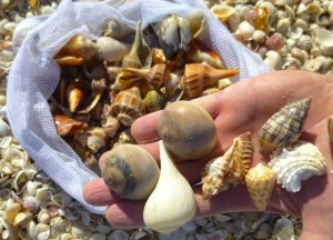 scott seashells captiva