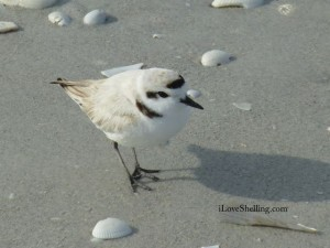 snowy plover close iLS