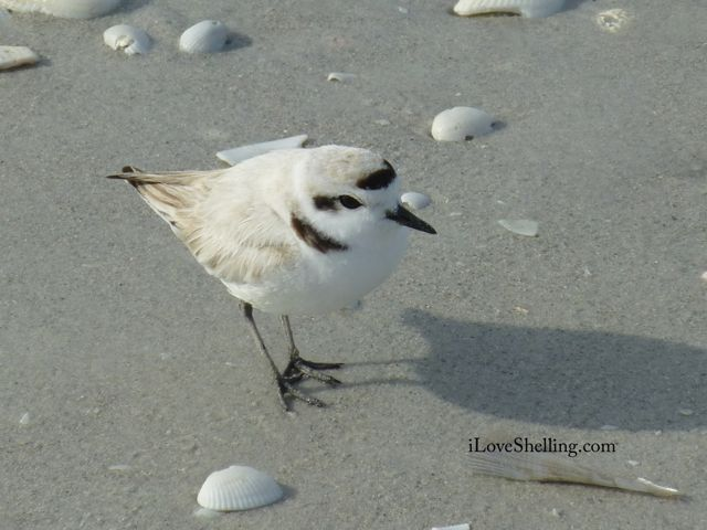 Lucky Four Cleat Plover