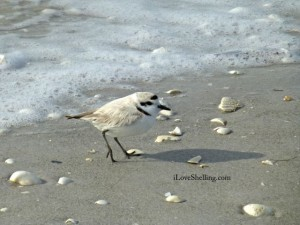 snowy plover closer iLS