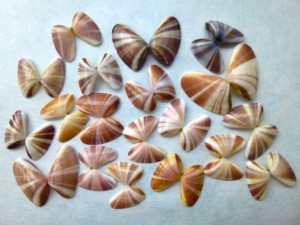 striped Sanibel Florida Coquina shells
