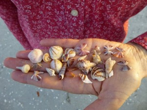 striped coquina seashells