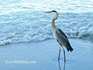Blue Heron Sanibel Florida ils