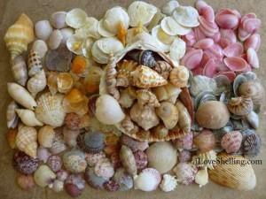 Marco Island shells iLS