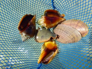 net shells conchs