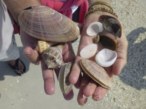 seashells found cayo costa april