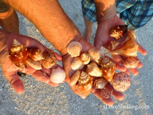 captiva island seashells april