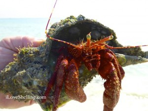 hermit crab  conch iLS.com watermark