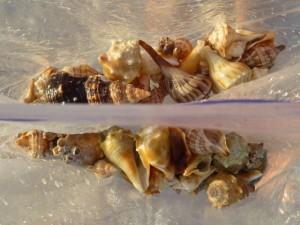 loulie  berkely shells sanibel