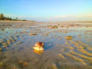 low tide Sanibel shells