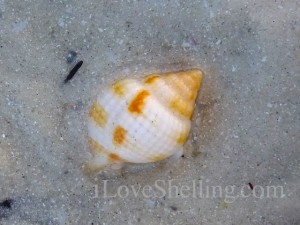 nutmeg seashell sanibel low tide