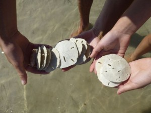 sand dollars tiger tail