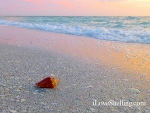 seashell on the beach Sanibel