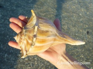 therese lightning whelk captiva florida