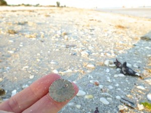 tiny sand dollar sanibel beach florida